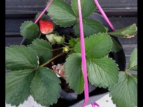 Video Cara Menanam Strawberry Di Dataran Rendah