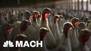 The Turkey Wishbone: From Dinosaur Holdover To Thanksgiving Leftover | Mach | NBC News