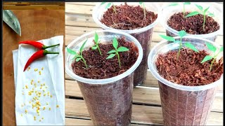 Put Chili Seed To Sprout In 2 Days