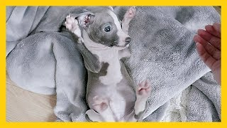 Lovely Puppy Reacts To New Home: 10 Weeks Old Italian Greyhound