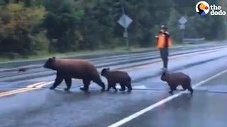 Ranger Stops Traffic So Bear Family Can Cross | The Dodo