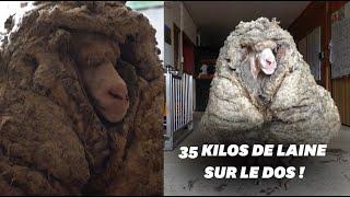 W Australii ta owca została uratowana z 35 kilogramami wełny na grzbiecie
