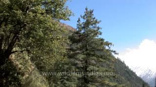Blue Pine Or Himalayan White Pine