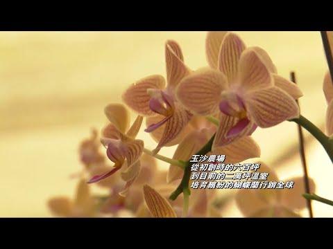 玉沙農場黃色蘭花