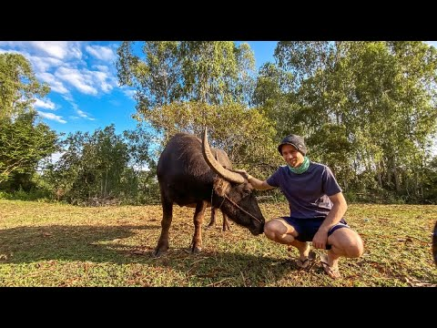 , title : 'THAILAND - Water Buffalo ATTACKS Kid On Our Farm