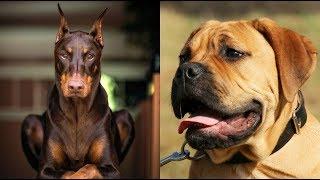 Top 10 mejores razas de perros guardianes