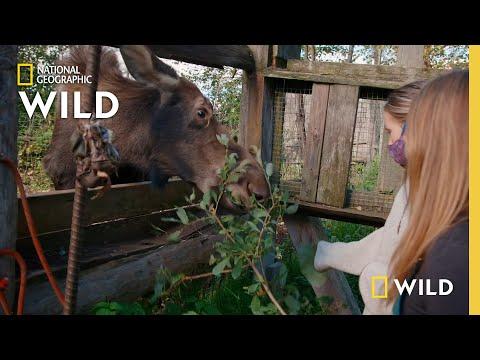 A Moose Gets a Check-up  | Dr. Oakley: Yukon Vet