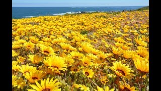 WILD FLOWERS OF THE WEST COAST, SOUTH AFRICA