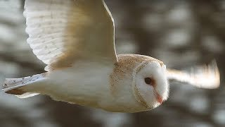 Slow-Mo Barn Owl in Flight | Unexpected Wilderness | BBC Earth