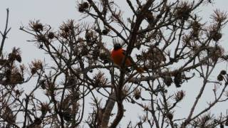 Oriole song
