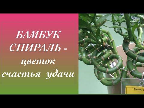 Бамбук Спиральный Драцена Сандеро