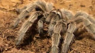 Стоит ли заводить паука-птицееда дома