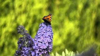 preview picture of video 'Butterflies of a Deepcar Garden'