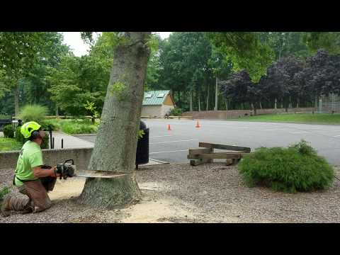 Most companies would drop this tree over the curb! A falling tree can break a curb apart very easily. Using cribbing (heavy wooden blocks), we were able to protect to curb from any damage from the falling tree.