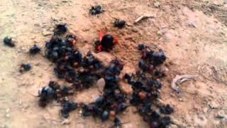 Camel spider massacres ants subscribe!!