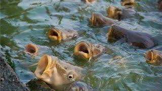 Где поймать зеркального карпа в рыбном месте