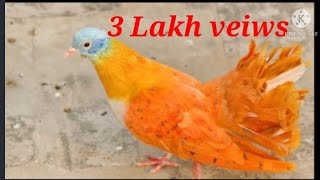 sale pigeon delhi , no delivery anywhere - Most Popular Videos