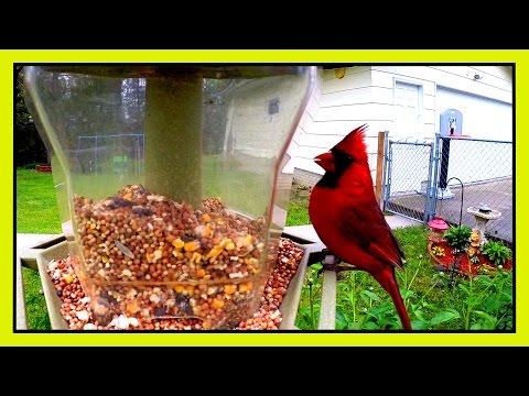 Bird Cam - Cardinal on Feeder