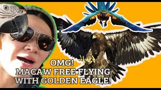 MACAWS FLYING WITH A GOLDEN EAGLE ** CRAZY**