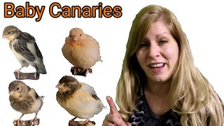 Baby Canaries Growth Cycle From Day 1 To 28 Days | Baby Canary Day by Day Growing Process