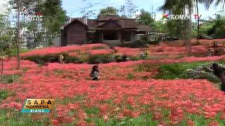 Taman Bunga Amarilis Kembali Hadir di Gunungkidul
