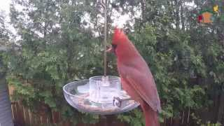 WBU Barrie: Cardinal and Oriole Feeding on Mealworms