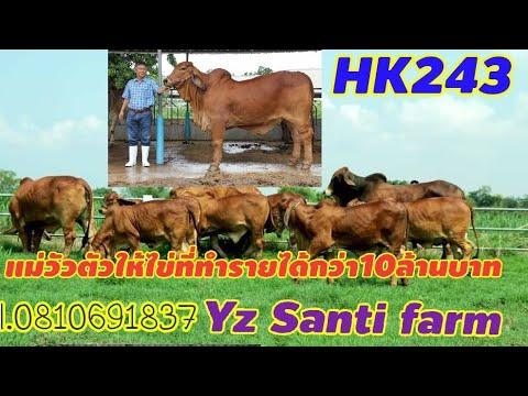 #HK243 สุดยอดแม่วัวตัวให้ไข่ ที่ทำรายได้สุดปังกว่า10ล้านบาท HK243 cow,