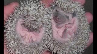 Pet Show - How to handle hedgehog babies!