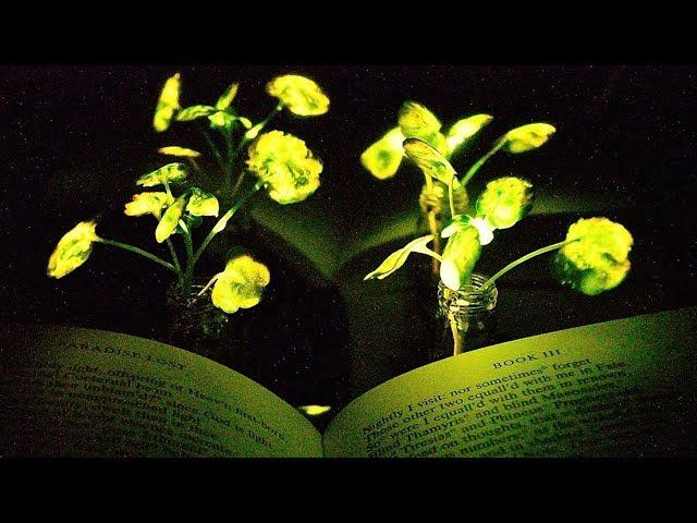 Ученые из Массачусетса заставили растения светиться в темноте