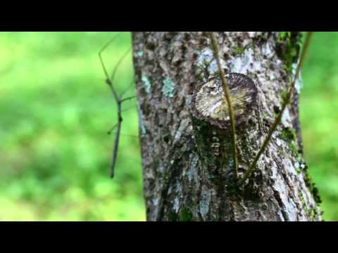 Walking-stick - A stick insect climbs a tree