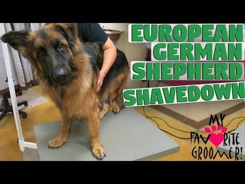 European German Shepherd Gets Shaved