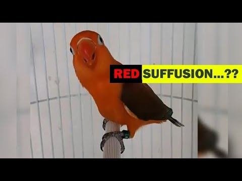 mp4 Lovebird Red Fusion, download Lovebird Red Fusion video klip Lovebird Red Fusion