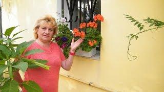 ГЕРАНЬ - БАБУШКИН ЦВЕТОК. Выращивание, уход, полив, цветение