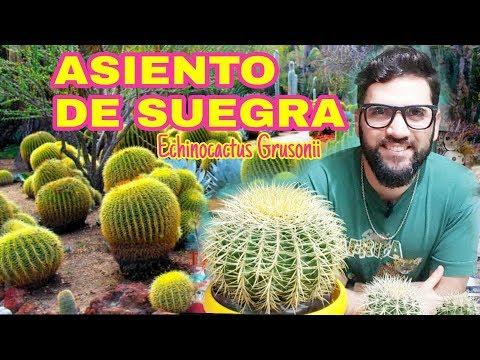 ASIENTO DE SUEGRA ( echinocactus grusonii)