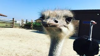 зоопарк 12 месяцев | страус гонит | VLOG 4