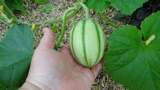 Meloenen en watermeloenen bestuiven.
