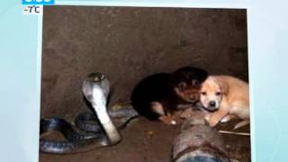 Кобра спасла щенков
