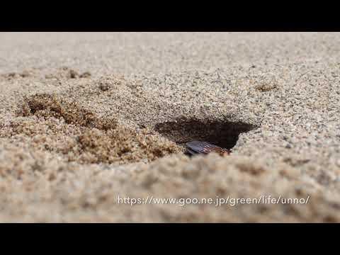 キンモウアナバチの穴掘り