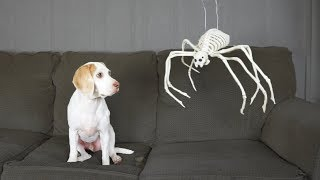 Dog Surprised w/5 Different Skeletons for Halloween! Funny Dog Maymo