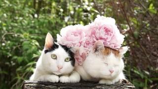 のせ猫x芍薬Catandflower2014#9