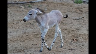 Welcome To The Herd, Little Somali Wild Ass!