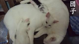 猫あるある川柳 ~猫団子~ | Kholo.pk