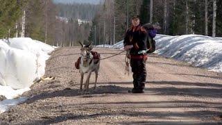 The Last Generation? Sami Reindeer Herders in Swedish Lapland