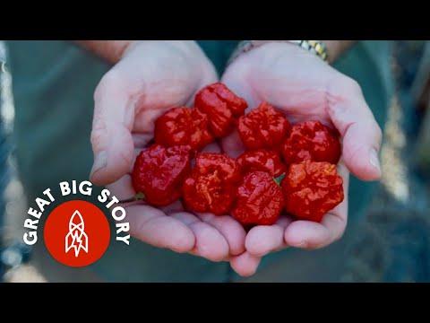 Pěstování nejpálivějších papriček