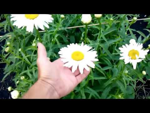 Цветет ромашка