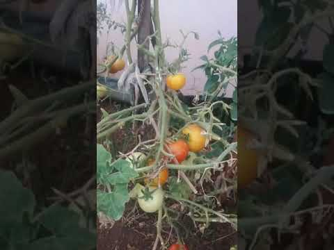 , title : 'Fully loaded tomatoes in my organic garden #shorts