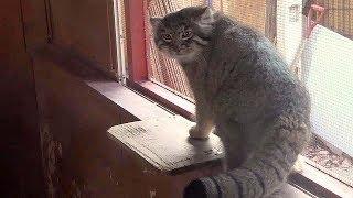 掃除する飼育員から逃げるマヌルネコ(埼玉県こども動物自然公園)Zoo Keeper & Pallas's Cat