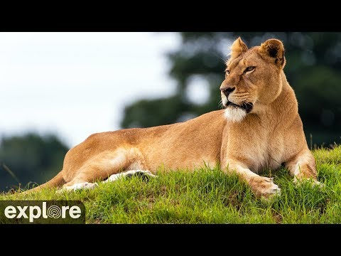 lion, lioness, zoo, park, reserve, big cat, rescue, animal, wildlife