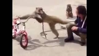 Funny Monkey smoking cigarette