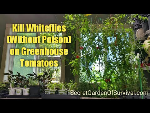 , title : 'How to Kill Whiteflies (without poison) on Greenhouse Tomatoes